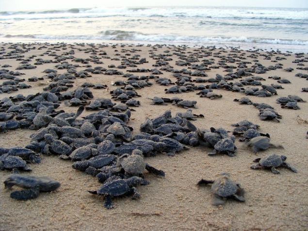 Turtle Migration